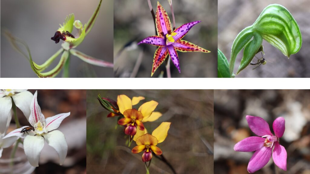 Orchids of the South West