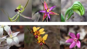 Search for the Queen of Sheba Orchid presentation at Margaret River Library @ Margaret River Library